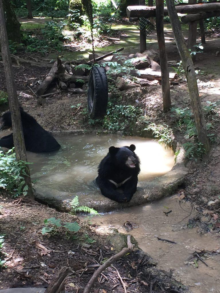 laos-bears